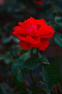 红色玫瑰花花卉风景图片