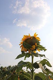 逆光向日葵