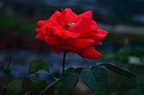 特写美丽的红玫瑰花花卉世界图片