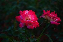 鲜花世界之玫瑰花风景图片
