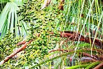 一串绿色颗粒棕榈果实