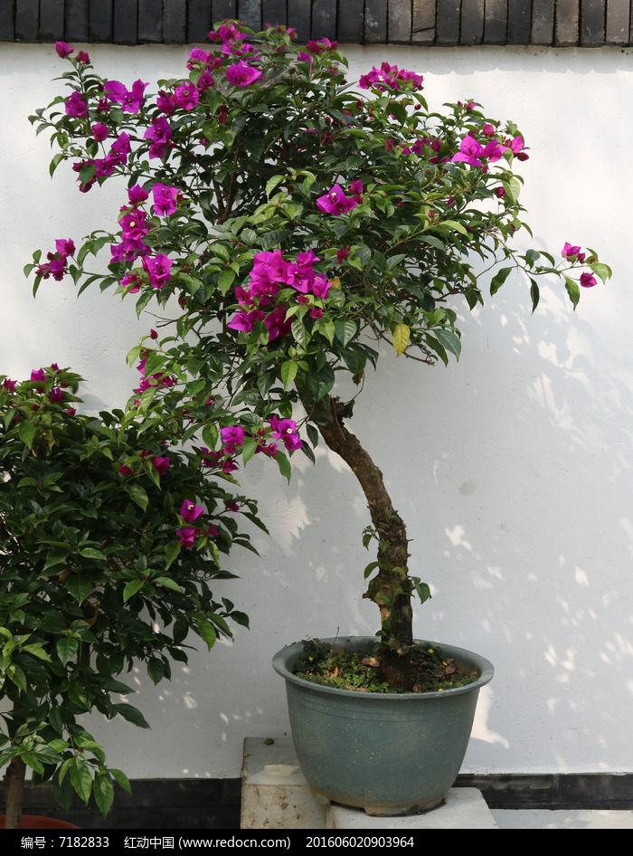 原创摄影图 动物植物 花卉花草 三角梅盆景  请您分享: 素材描述:红动