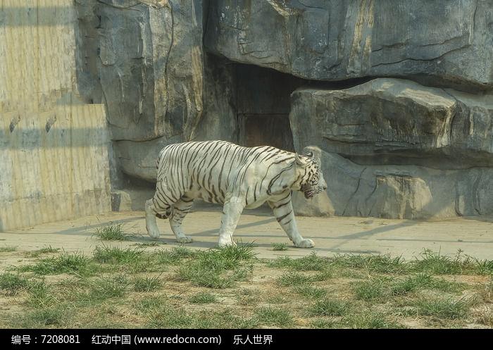 白虎及岩石图片,高清大图_陆地动物素材_编号7208081