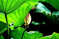 藏在叶子下面的花朵