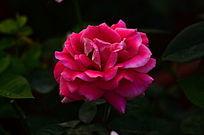粉红的玫瑰花花朵素材风景图片