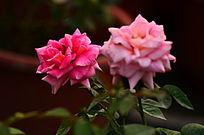 粉红色玫瑰花鲜花素材背景图片
