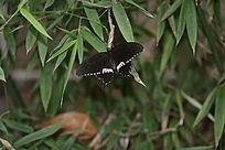 黑白花纹蝴蝶