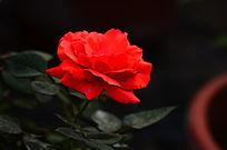 红玫瑰花花卉世界图片