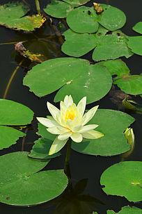 黄色莲花池