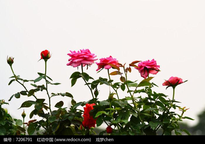 玫瑰花花卉风景图片高清图片下载 编号7206791 红动网图片