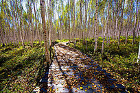 羊肠小道上的白树林