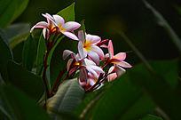 粉色鸡蛋花树木风景图片