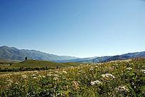 禾木草原美丽的野花绽放