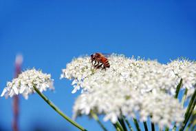禾木草原野花上的小蜜蜂