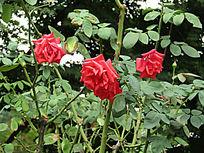 红花拍摄图