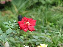 红花拍摄图片