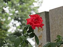 红花摄影图