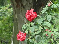 红花摄影图片
