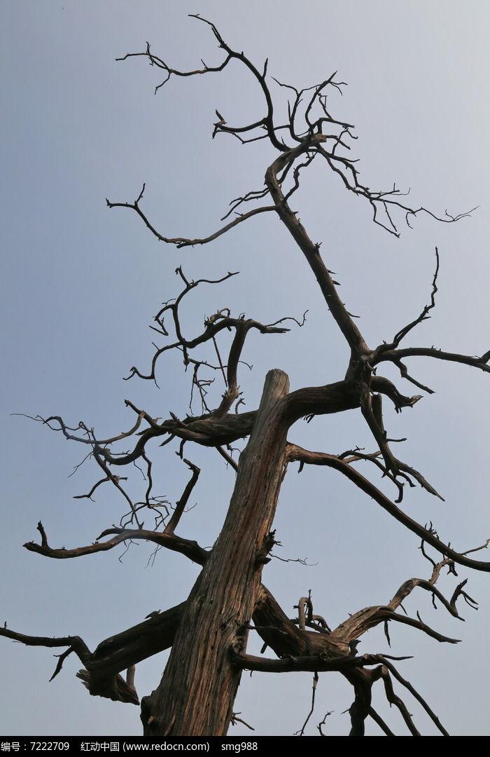 枯萎的古树图片,高清大图_树木枝叶素材