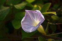 喇叭花花朵特写图片