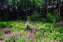 柳兰花开的松林