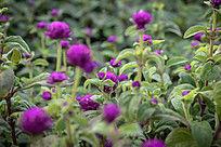 绿化带花圃紫色小花植物高清图片