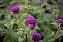 绿化带苗圃紫色小花植物高清图片