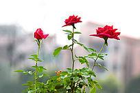 美丽的玫瑰花风景图片