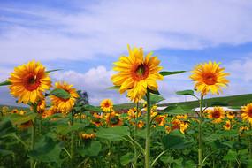 美丽的向日葵