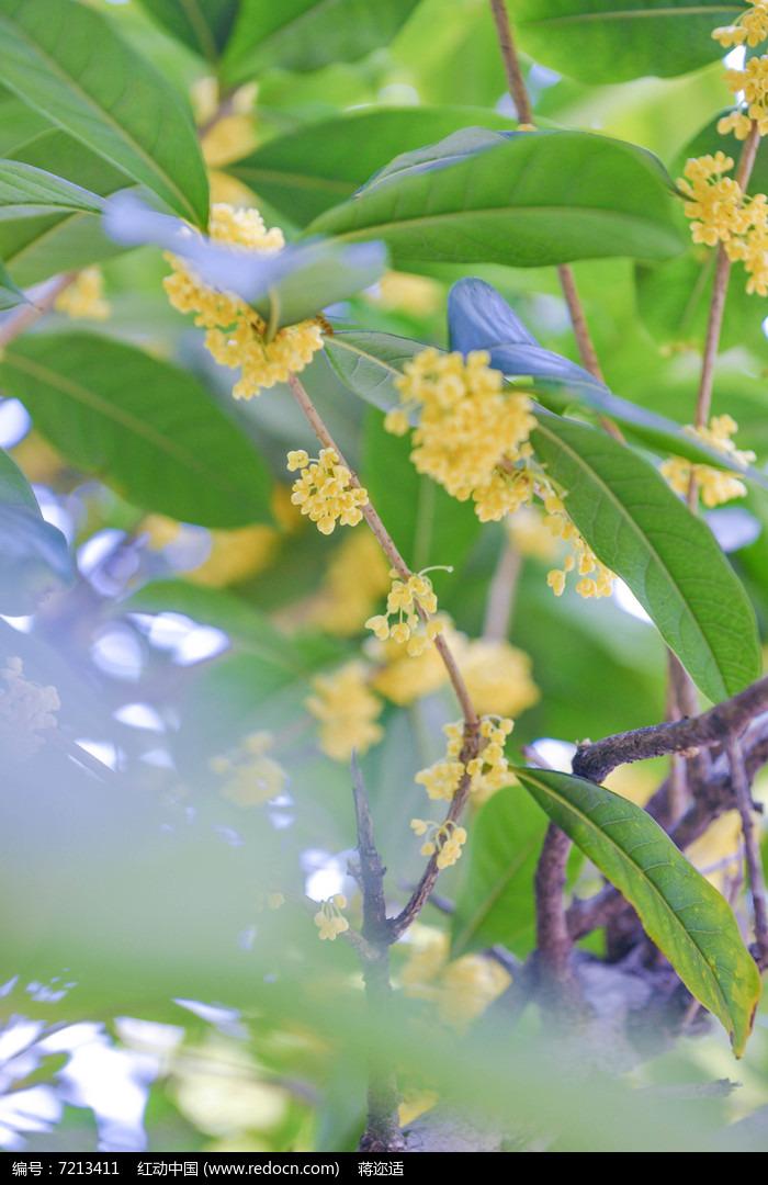 日系植物桂花高清图片