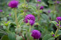 日系紫色小花植物高清摄影