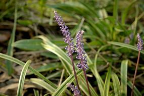 日系紫色野草高清摄影图片