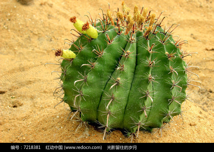 原创摄影图 动物植物 花卉花草 沙漠仙人球  请您分享: 红动网提供