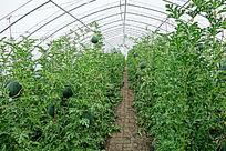 塑料大棚种植的西瓜