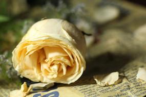 香槟色的玫瑰
