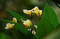 鲜艳的黄色鸡蛋花风光图片