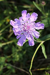 一朵绽放的蓝盆花
