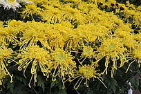 一片盛开的黄色菊花