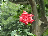 一支红花摄影图