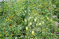 种植的西红柿