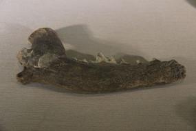 变种狼下颌骨化石