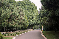 翠绿的松柏树