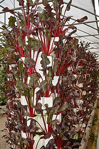 大棚种植红梗菜
