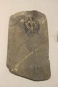 丰宁长尾鸟化石