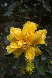黄花重瓣朱槿