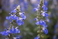 蓝色的校花卉