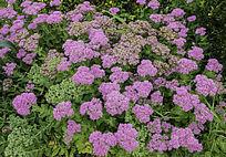 美丽的紫色花朵