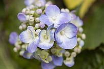 蓝色的绣球花