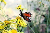 休息的花蝴蝶