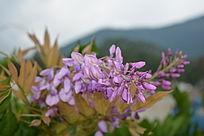 粉紫色的紫藤花束